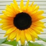 Näin kasvatat auringonkukan