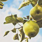 Kirjailija haaveilee raukeista päivistä omenapuun alla