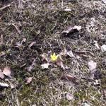 Kevään ensi kukkanen