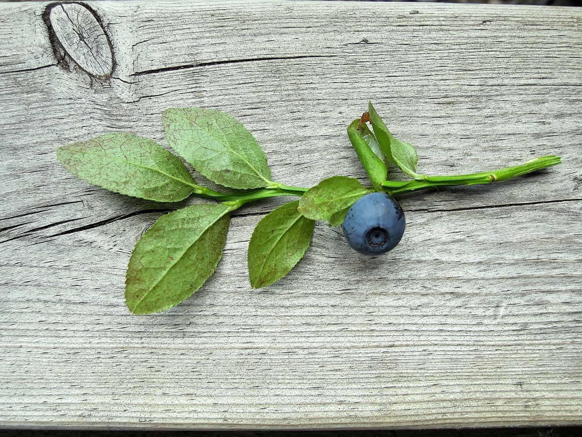 Marjat ovat luonnon oma lääkevarasto – Poimi vatsaa hellivä smoothie-resepti