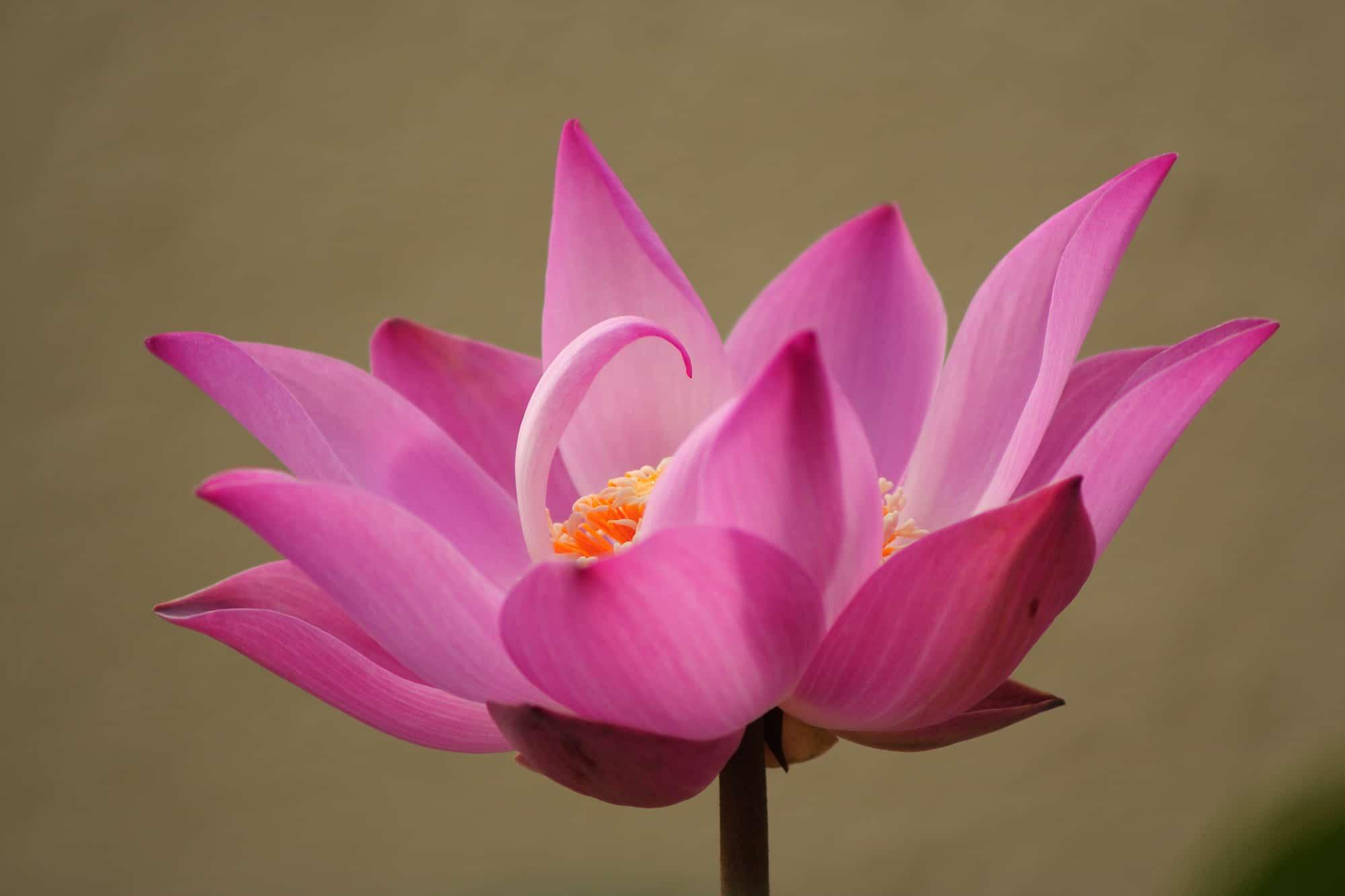 Lotus Kampanja