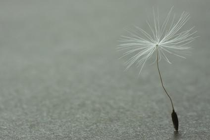 Macro of dandelion seed standing on the grainy background