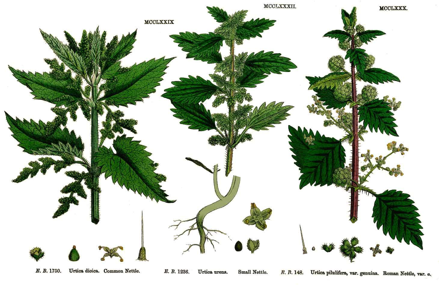 urtica-species-nettle