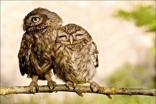 halaavat pöllöt