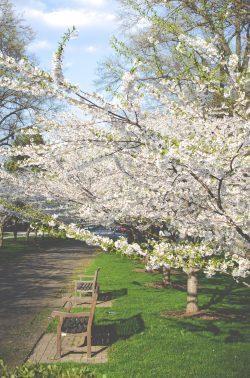 kirsikkapuu2