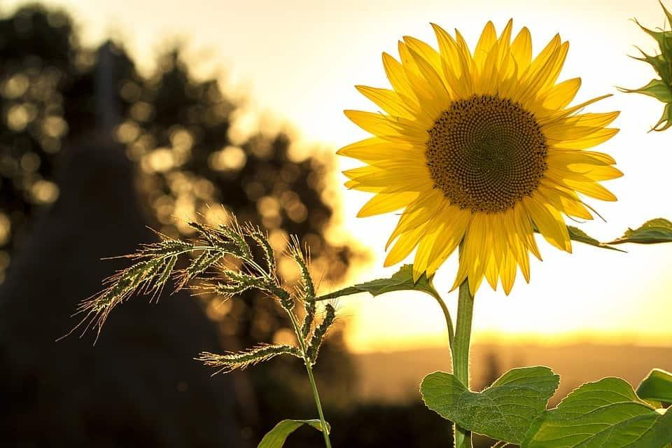 kolme tapaa olla onnellinen auringonkukka