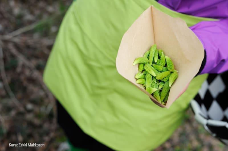 Kuusenkerkkiä on helppo kerätä suodatinpusseihin.