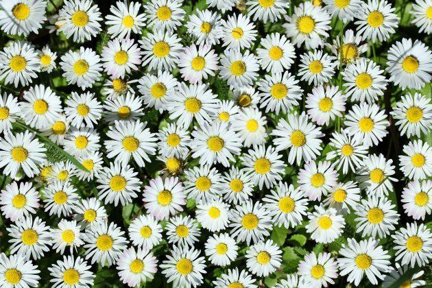 Background from white daisy flower, closeup shot.