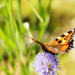 Perhosia houkuttelevan puutarhan tärkeys