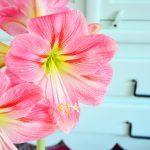 Näin saat amarylliksen kukkimaan uudelleen entistä kauniimpana – älä heitä sitä roskiin!
